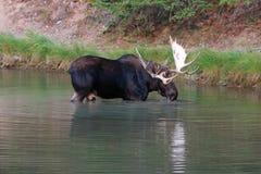 Vuxen tjurälg i Fishercap sjön i många glaciärregion av glaciärnationalparken i Montana ISA royaltyfri fotografi