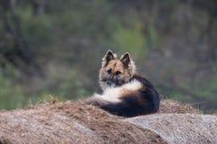 Vuxen vakt Dog Lies On en höstack i gården Herde On The Hay Hund i krubban, lantlig stil arkivbilder