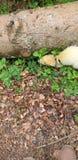 Vuxen vessla f?r albinohob manlig Ut p? hans ledning i Dalbeattie Forest Kirkcudbrightshire royaltyfri bild