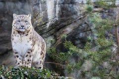 Vuxet anseende för snöleopard på den steniga avsatsen Royaltyfri Bild