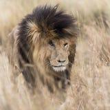 Vuxet lejon som dyker upp från långt gräs Arkivfoton