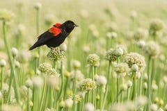 Blackbird Fotografering för Bildbyråer
