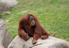 Vuxet orangutangsammanträde på en stenblock i en zoo arkivfoto