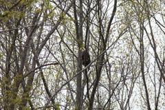 Vuxet skalliga Eagle sammanträde i ett skogsbevuxet område Arkivbild