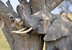 Vuxet skrapa för elefant som är självt mot tree Royaltyfri Fotografi