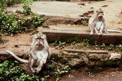 Vuxna apor sitter och äta bananfrukt i skogapaskogen, Ubud, Bali, Indonesien royaltyfri foto