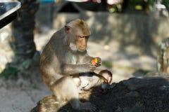 Vuxna apor sitter, och äta mat med apan behandla som ett barn i parkera Royaltyfri Bild