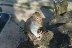 Vuxna apor sitter, och äta mat med apan behandla som ett barn i parkera Royaltyfri Fotografi