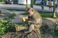 Vuxna apor sitter, och äta mat med apan behandla som ett barn i parkera Arkivbild