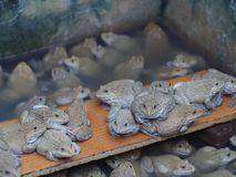 Vuxna grodor i lantgårddammet för att föda upp och försäljning i Thailand Arkivfoto