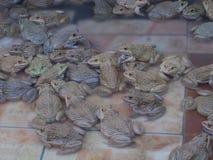 Vuxna grodor i lantgårddammet för att föda upp och försäljning i Thailand Fotografering för Bildbyråer