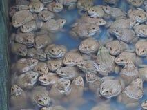 Vuxna grodor i lantgårddammet för att föda upp och försäljning i Thailand Royaltyfria Bilder