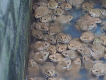 Vuxna grodor i lantgårddammet för att föda upp och försäljning i Thailand Royaltyfria Foton