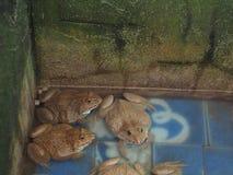 Vuxna grodor i lantgårddammet för att föda upp och försäljning i Thailand Adul Arkivbild