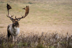 Vuxna hjortar arkivbilder