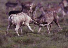 Vuxna hjortar - fullvuxna hankronhjortar arkivbilder