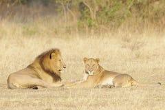 Vuxna lejonpar som tillsammans ligger arkivfoto