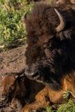 Vuxna människan och behandla som ett barn buffelhuvud i Custer State Park i South Dakota royaltyfria foton