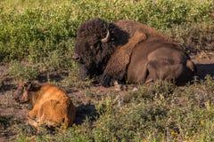 Vuxna människan och behandla som ett barn buffeln i Custer State Park i South Dakota arkivbilder