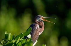 Vuxna människan tricolored hägret (den tricolor egrettaen) fiskar Royaltyfri Bild