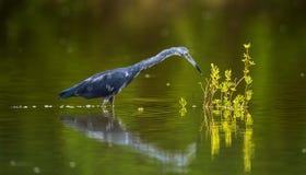 Vuxna människan tricolored hägret (den tricolor egrettaen) fiskar Arkivfoton