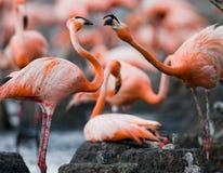 Vuxna människor för lek två av den karibiska flamingo cuba Reserv Rio Maxim а Fotografering för Bildbyråer