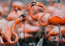 Vuxna människor för lek två av den karibiska flamingo cuba Reserv Rio Maxim а Arkivbild