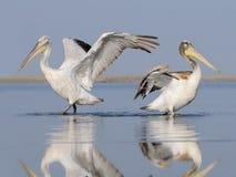 Vuxna och unga Dalmatian pelikan Arkivfoto