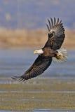 Vuxna skalliga Eagle vingar fördelade med fiskbild Royaltyfri Bild
