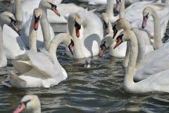 Vuxna svanar omger den ensamma unga svanen, den Abbotsbury swanneryen Arkivfoton