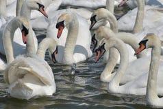 Vuxna svanar omger den ensamma unga svanen, den Abbotsbury swanneryen Arkivbilder