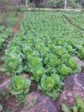 vvegetable сад Таиланд Стоковые Фотографии RF