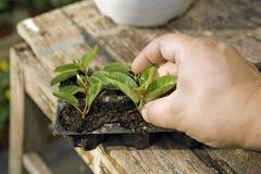 Väx växter Fotografering för Bildbyråer