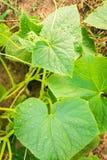Växande gurka Arkivfoton