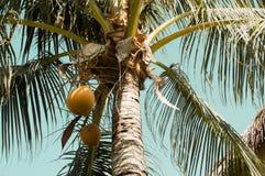 Växande kokosnötter i palmträd Royaltyfri Bild