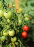 Växande tomater Royaltyfria Foton