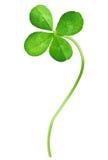 Växt av släkten Trifolium för fyra Leaf Royaltyfri Fotografi