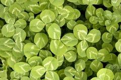 Växt av släkten Trifoliumbakgrund Royaltyfri Bild