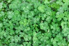 växt av släkten Trifoliumfält Arkivfoton
