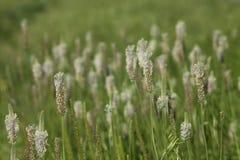 växt av släkten Trifoliumwhite Arkivbilder