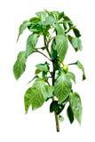 Växt för varm peppar som blommar med små peppar - som isoleras på whit Royaltyfria Foton