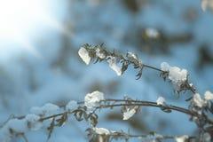 Växt som täckas vid insnöad solig vinterdag Arkivfoton