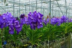 Växthuset av den de Vanda orkidén Royaltyfri Bild