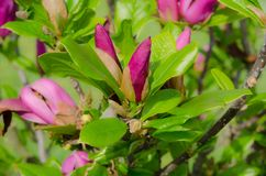 Växtmagnolia Fotografering för Bildbyråer