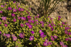 Vygie flower karoo succulent Royalty Free Stock Images