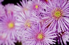 Vygie roxo (anceps de Erepsia) Fotos de Stock Royalty Free