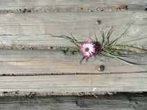 Vygie-Schönheit Stockfoto