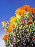 Vygie sul - planta africana do succulent fotografia de stock