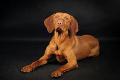 Vyzhla hund som ligger på den svarta bakgrunden royaltyfri fotografi