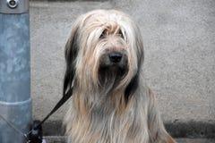 Wäller, uma raça nova dos cães, amarrada a um cargo da lâmpada, esperas para olá! imagem de stock